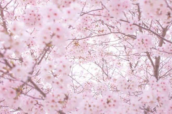 桜の森の満開の下-坂口安吾-イメージ