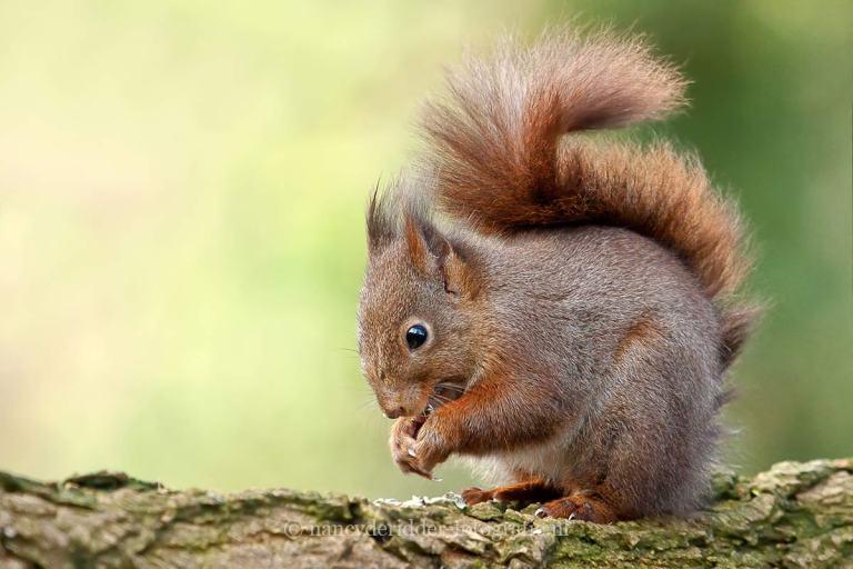 Eekhoorns, dieren in vrije natuur