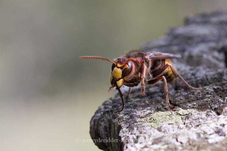 hornaar, macrofotografie, insecten
