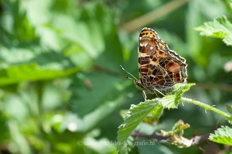 vlinders, landkaartje, macrofotografie