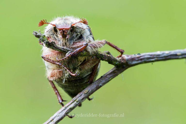 - overige insecten -