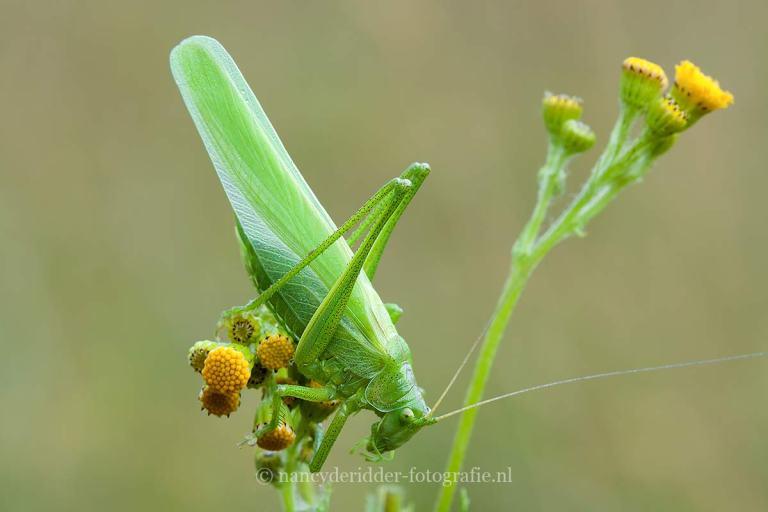 sabelsprinkhaan, wespenspin, macrofotografie, insecten