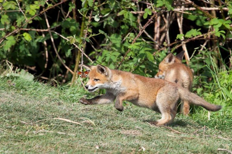- jonge vosjes -