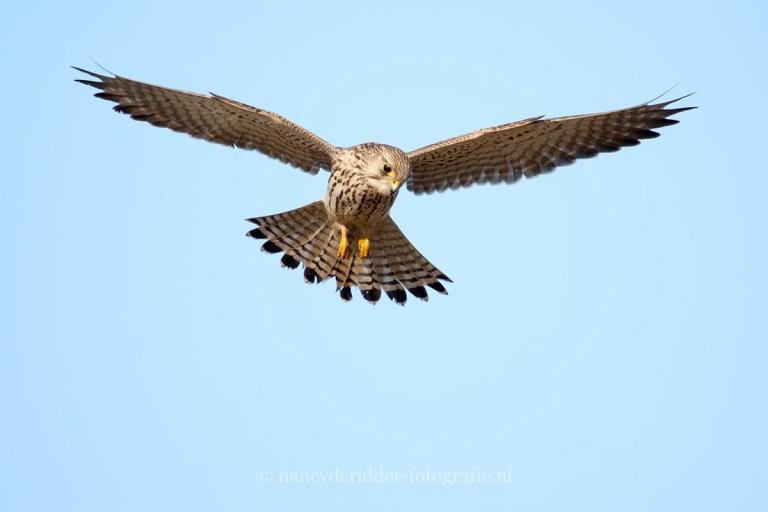 roofvogels, buizerd, vogelfotografie
