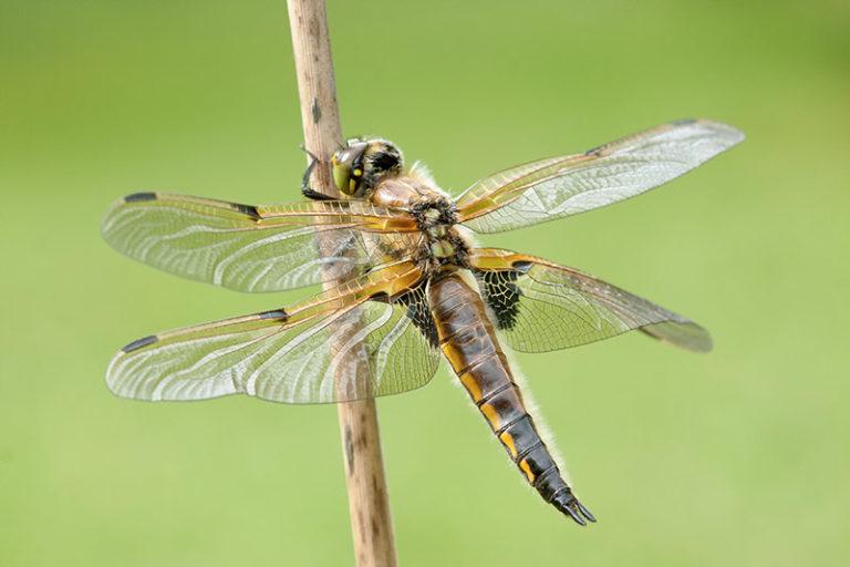 klik hier om meer foto's van juffers en libellen te bekijken