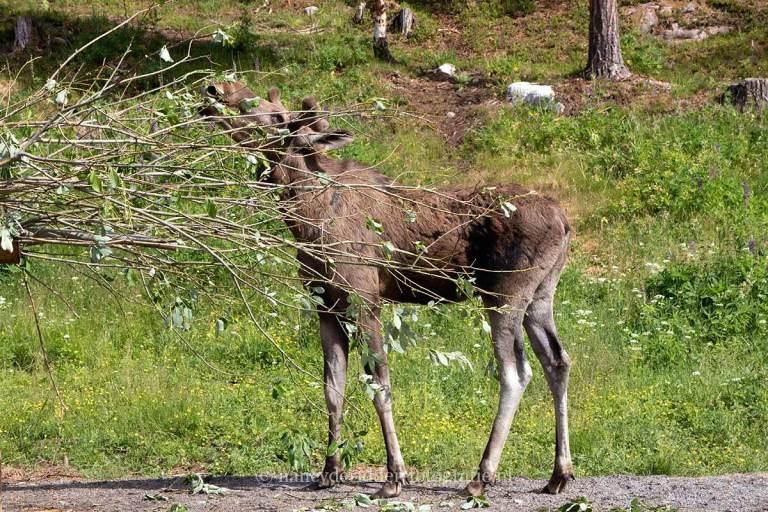 Noorwegen, fjorden, reizen, eland