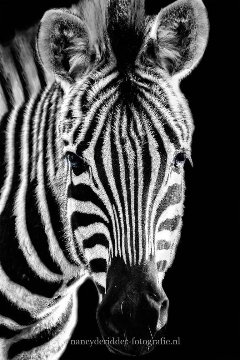 Zwart/wit foto's, zebra