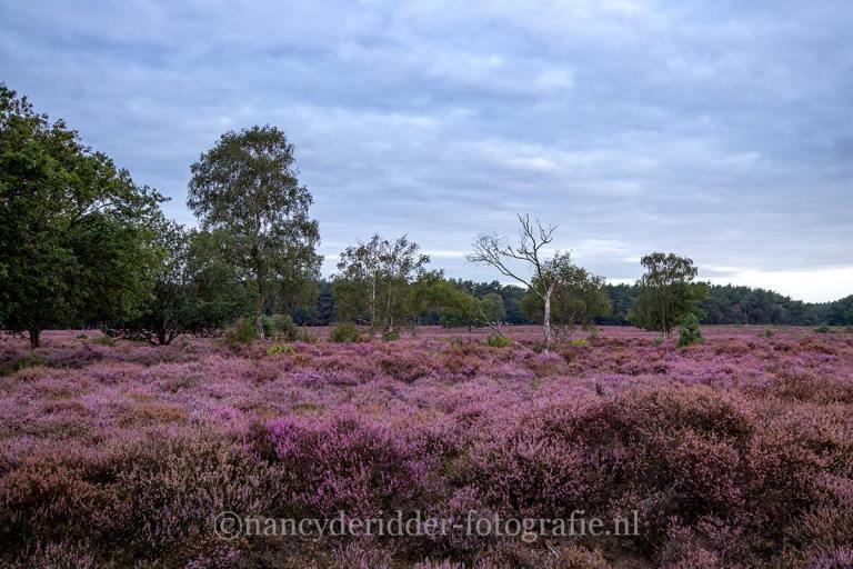 paarse-heide, westerheide, laren, natuur, landschappen