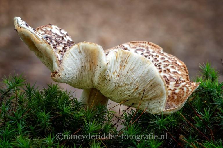 paddenstoelen, natuurfotografie, natuur, parelamaniet