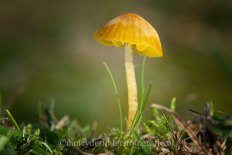 paddenstoelen, natuurfotografie, natuur, mosklokje