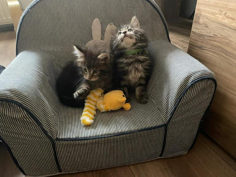 cooper en spencer, kittens, maine-coon