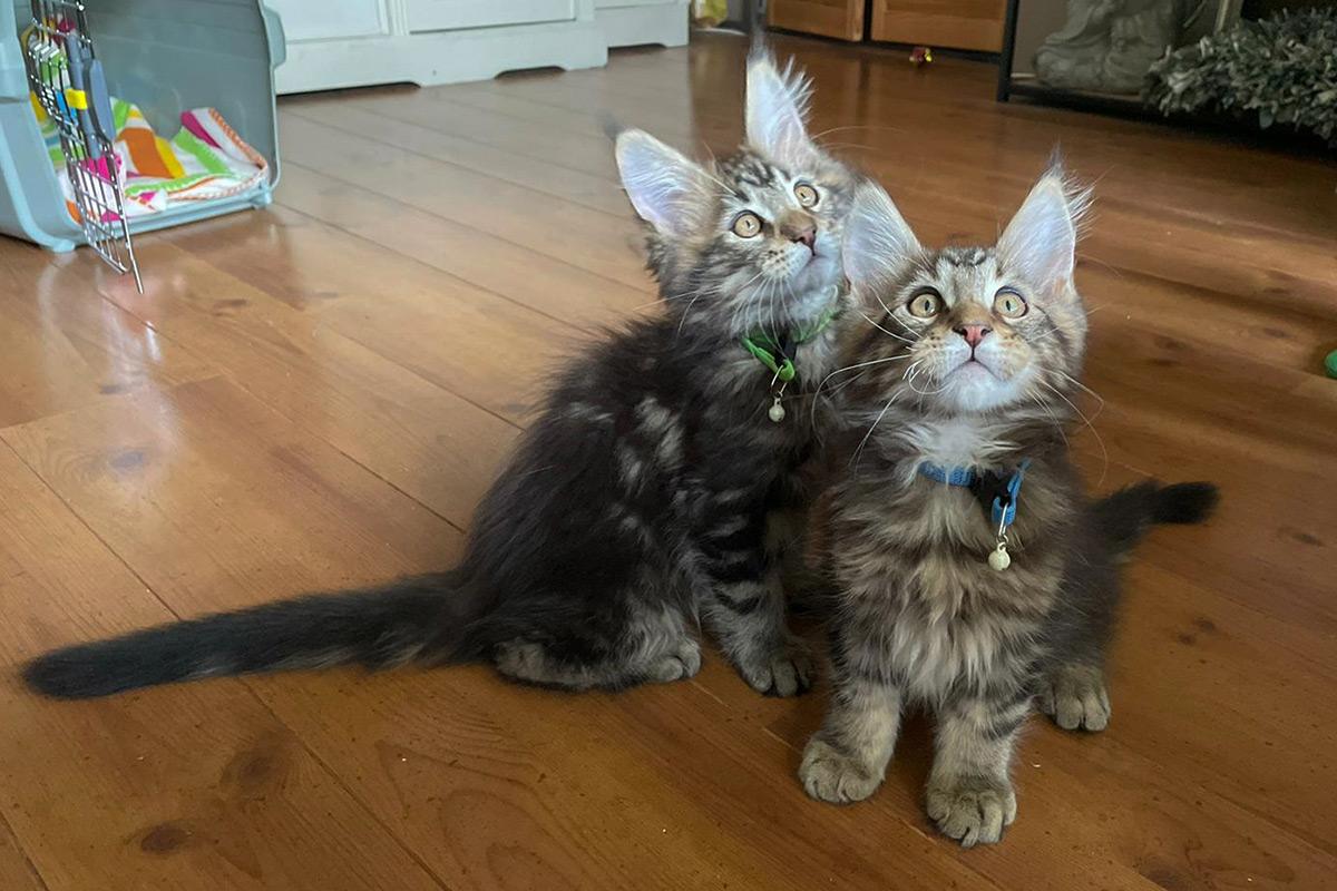 thuiskomst, onderweg, kittens, maine-coon