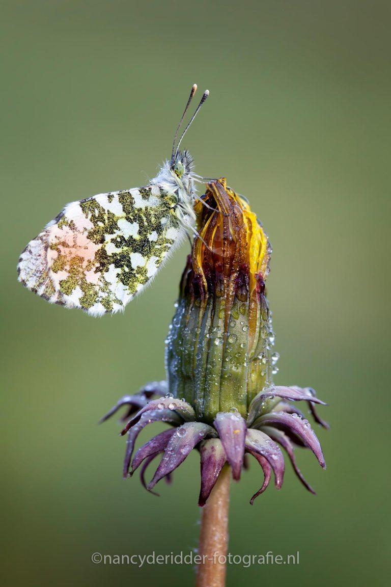 oranjetipje, vlinders, dauwdruppels, macro
