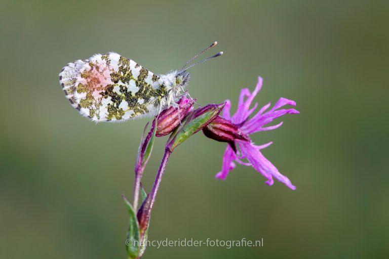 oranjetipje, mannelijk, vlinder, voorjaar