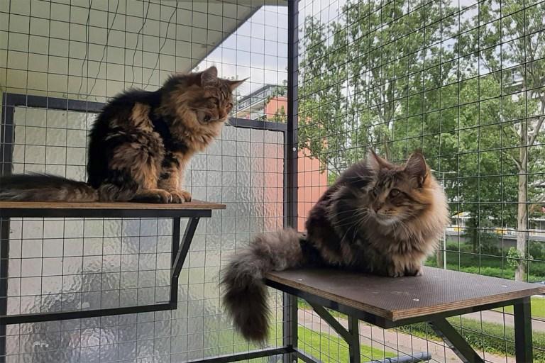 kattenren, cooper, spencer, maine-coon, kittens