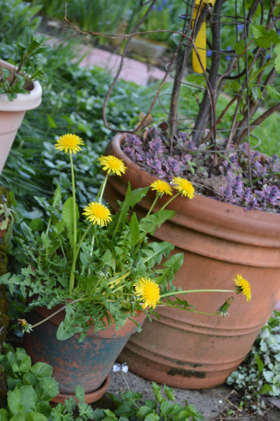 dandelion in a pot