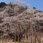 岐阜 淡墨桜のアクセスと開花情報!見頃とライトアップ期間は?