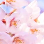 赤城南面千本桜の駐車場とアクセス!見頃と開花時期