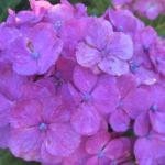紫陽花の花言葉の良い意味を色別で紹介|結婚式に贈る色は?