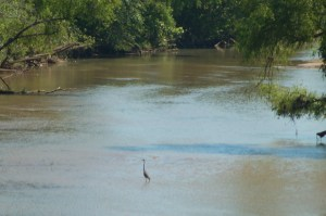 A blue heron fishing in the river, about halfway between the footbridge over the river near downtown and the Highway 78 double bridge.