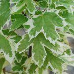 Acer platanoides Drummondii