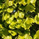 Fagus sylvatica Dawyck Gold