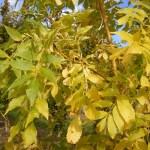 Fraxinus excelsior Jaspidea