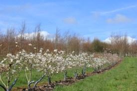 Magnolia stellata m/s 100/125mm