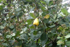 Gissa frukten! Det är faktiskt en Cashew-nöt. En per frukt. Inte konstigt de är dyra!