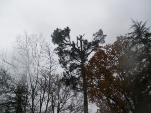 Abattage par démontage sur corde en Pyrénées Atlantique 64 et Landes 40 1071 - ECHEGARAY Ñaño élagage
