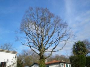 Taille douce des arbres en Pyrénées Atlantique 64 et Landes 40 2704 - ECHEGARAY Ñaño élagage