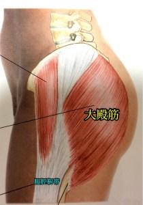 筋肉について [臀筋編] 起始 停止 作用 神経支配