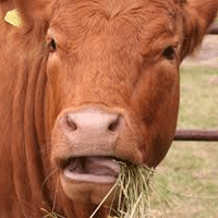 chewingcow