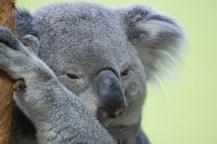 Contemplating Koala