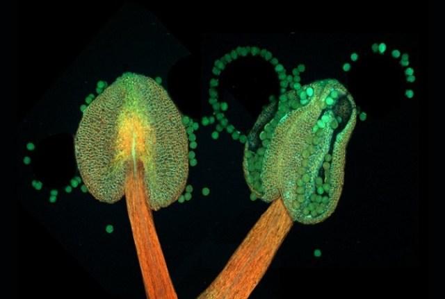 Лучшие микроскопические снимки, на которых можно разглядеть рот пузырчатки и нейроны мыши