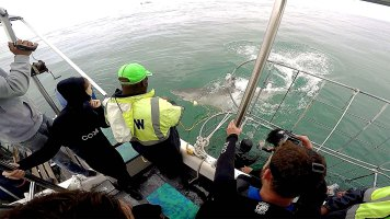 O funcionário teve que preparar uma nova isca porque o tubarão acabou fisgando aquela!