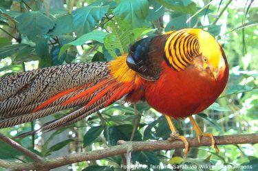 1024px-Chrysolophus_pictus_-Parque_das_Aves_Foz_do_Iguacu_Brazil_-male-8a