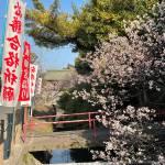 護国神社の桜