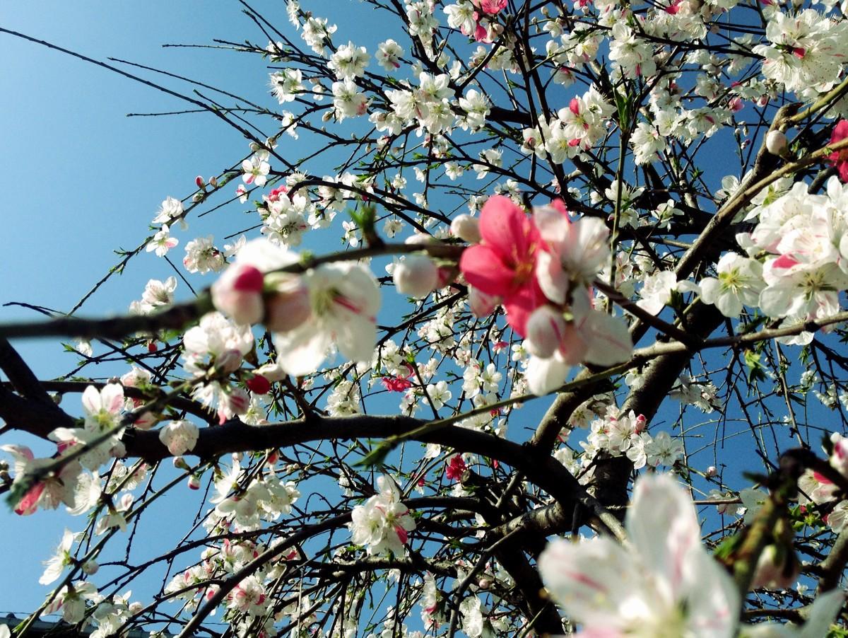 Cherry blossom in Koenji