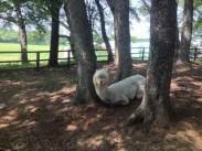 Resting Alpaca