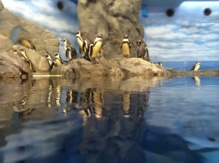 Humboldt penguins after feeding