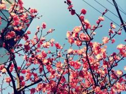 Some more plum flowers, in Shimokitazawa
