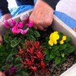 園芸療法;雪に負けない草花たち