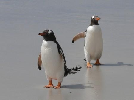 gentoo-penguins-337589_640