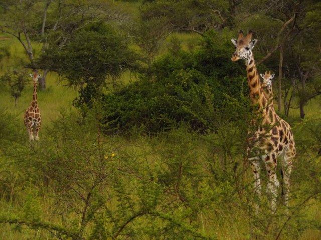 Lake Mburo Giraffe
