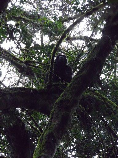 Gorilla On the Tree