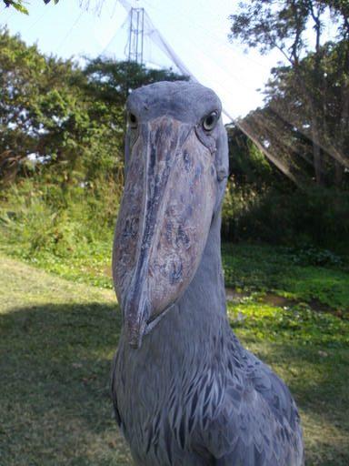 Shoebill Front Face