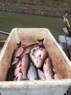 A morning's catch: tub of Red Salmon and Whitefish