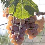 Pinot Gris / Pinot Grigio