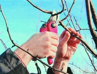 Не так уж прост абрикос: обрезка в саду